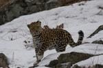 В нацпарке «Земля леопарда» протестировали беспилотники ZALA AERO в зимних условиях